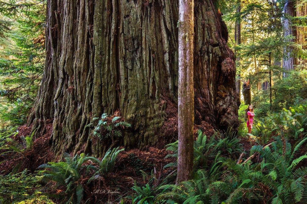 largest_biggest_coast_redwood_2000