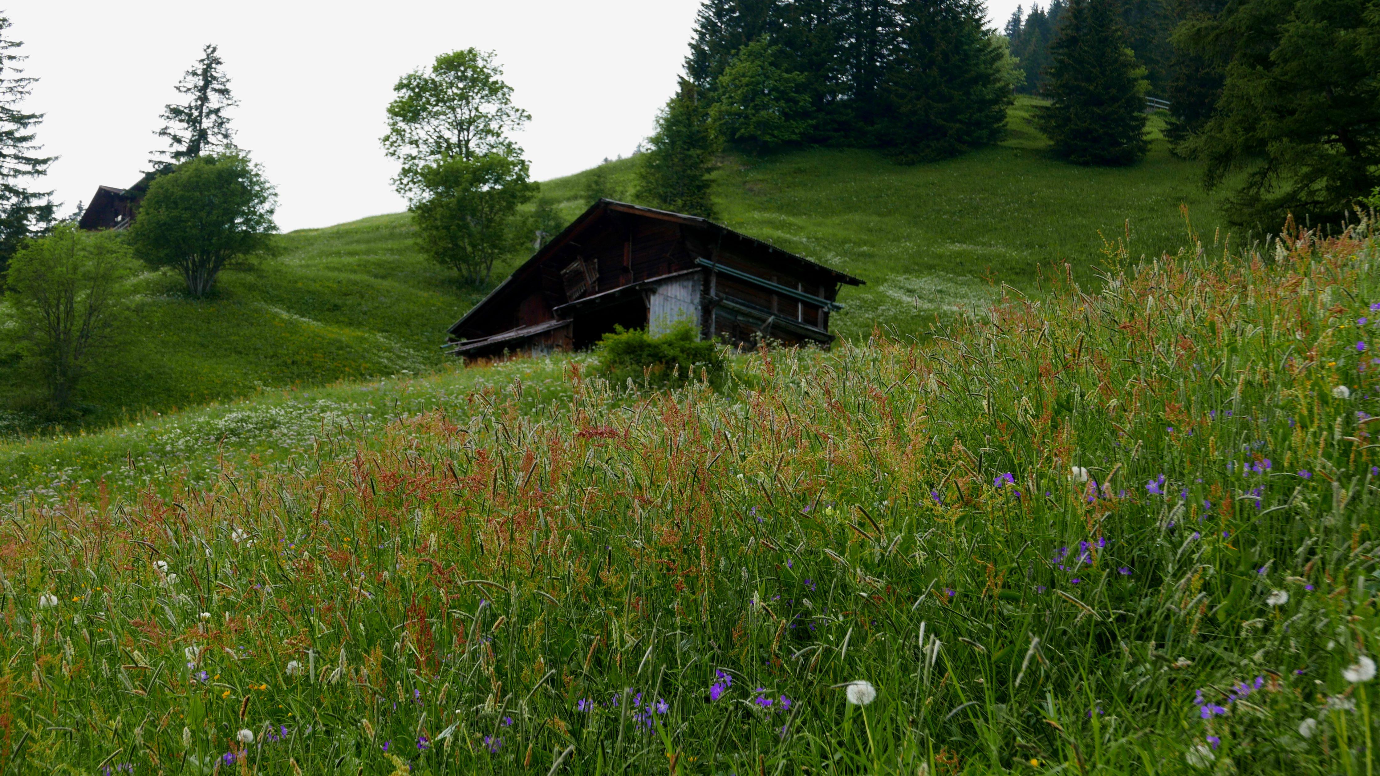 Gimmelwaldflowers2015